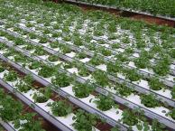 Perfil TP75 - Produção de agrião