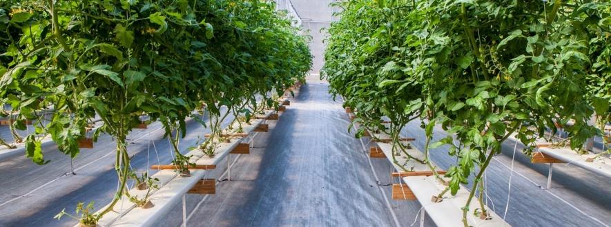 Produção de frutos em hidroponia NFT - Perfis M150 e R150