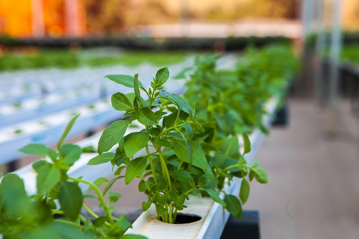 Hidroponia para cultivo em regiões quentes