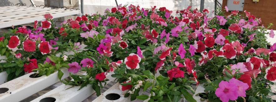 Plantas ornamentais: É possível cultivar com hidroponia